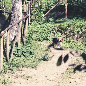 Sfide (sfighe) quotidiane di un Basset Hound...